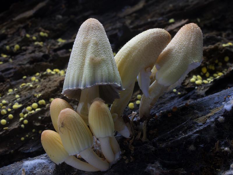 Coprinellus aff. micaceus