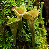 """Cladonia carneola, the """"crowned pixie-cup"""", Mt Macedon, Victoria"""