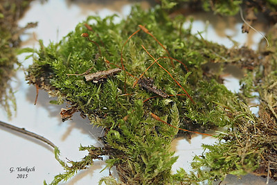 Tassel  Moss