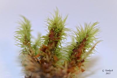 Wrinkled Broom Moss