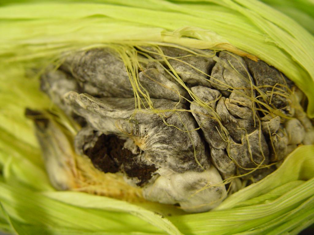 Corn smut----Ustilago zeae