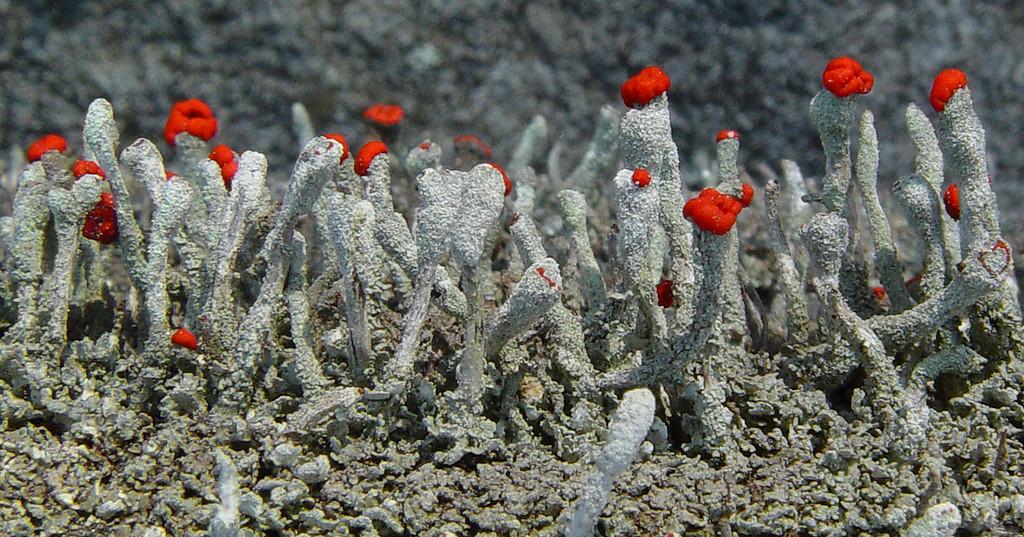British Soldiers - Cladonia cristatella - lichens
