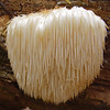 Hericium Erinaceus - Lion's Mane or Pom-Pom Mushroom or Old Man's Beard