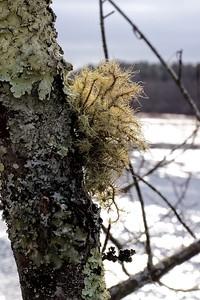 Wintertime moss and lichen.