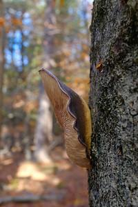 Late Fall Oyster - Panellus serotinus.