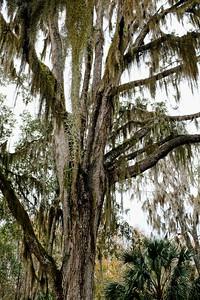 Spanish moss - Tillandsia usneoides.