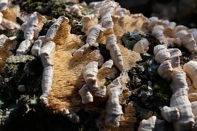 Milk-white toothed polypore - Irpex lacteus.