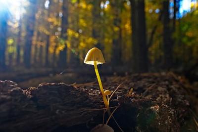 Yellow-stalked or yellowlegged bonnet  - mycena epipterygia epipterygia.