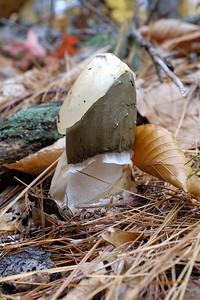 Stinkhorn - Phallus impudicus.