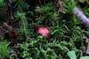 The sickener - Russula species.