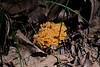 Orange Coral Fungus, Clavicorona pyxidata.
