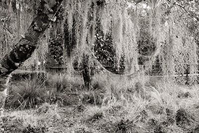 """Ropes"" of Spanish moss - Tillandsia usneoides."