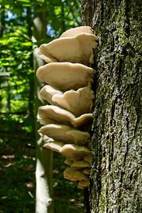 White Oyster mushroom - Pleurotus ostreatus.