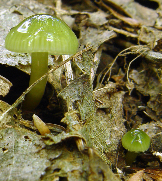 Honorable Mention, Pictorial Division<br /> 2008 Photo Contest<br /> Hygrocybe psitticina