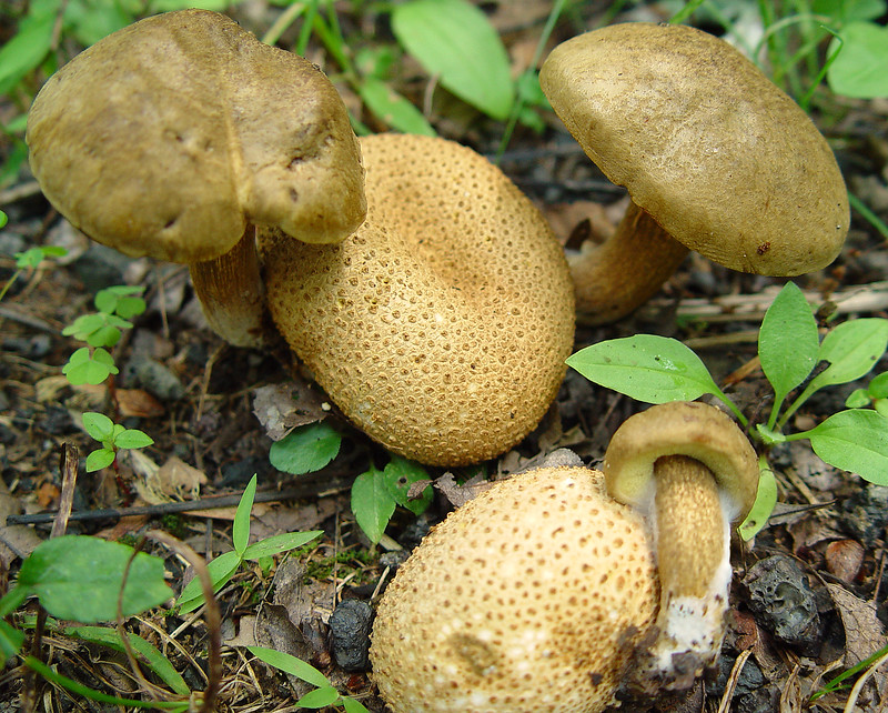 Honorable Mention, Documentary Division<br /> 2006 Digital Contest<br /> Boletus parasiticus on Scleroderma citrinum