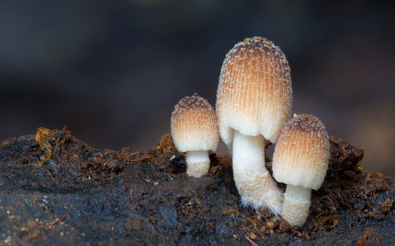 Coprinellus sp.