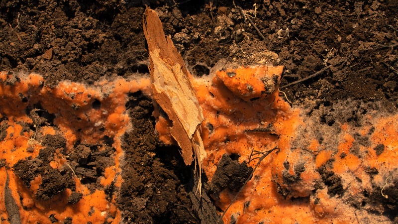 Pyronema sp.