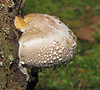Red-banded Polypore, Fomitopsis pinicola