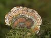 Turkey Tail, Trametes versicolor
