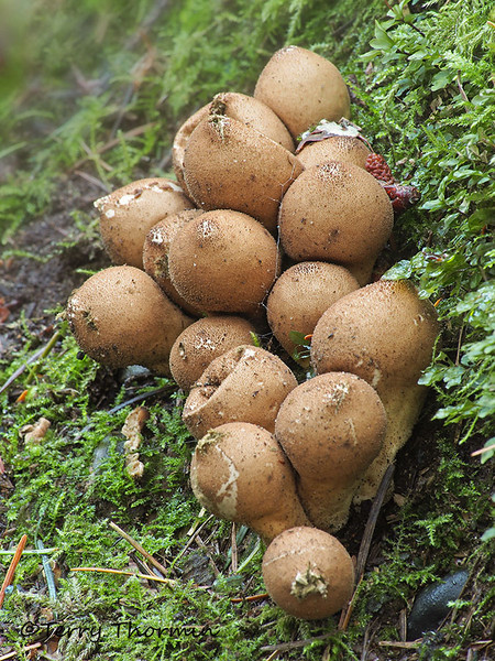 Pear-shaped Puffball, Lycoperdon pyriforme