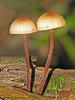 Mushroom - Edmonton, Alberta