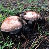 Agaricus brunneofibrillosis