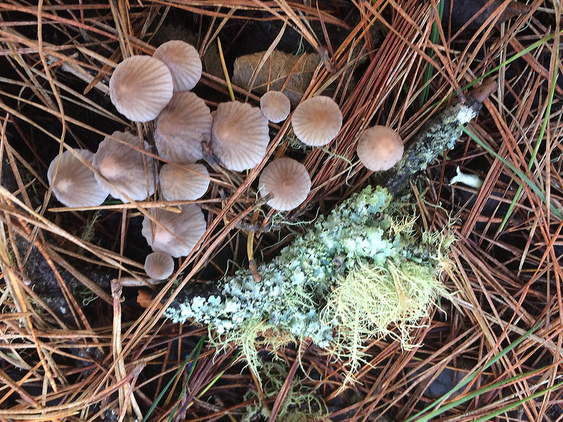 Bean sprout mycena and lichens