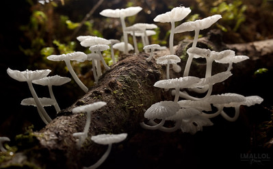 Gnome's path (Marasmius sp.)