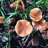 Pholiota ssp.
