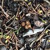 Bird's nest fungus