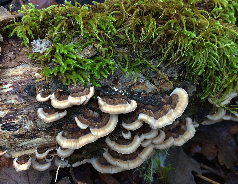 Turkey tails and moss