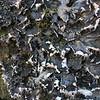 Parchment lichen