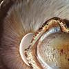Agaricus augustus