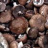 Agaricus brunneofibrillosus