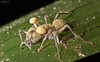 Zombie fungus attack III (Ophiocordyceps lloydii var. binata)