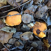 California golden chanterelle