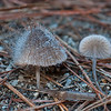 Mycena sp. with secondary fungus