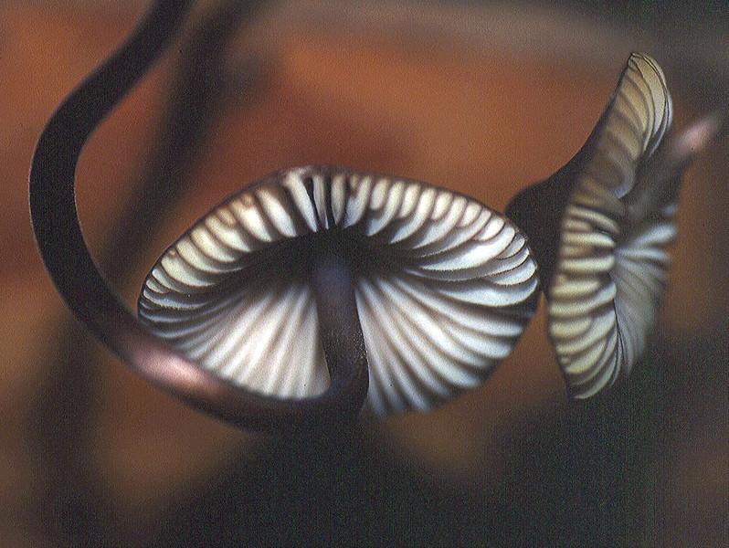 Mycena ssp.