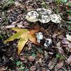 Amanita phalloides