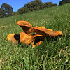 Jack-o-Lantern fungus