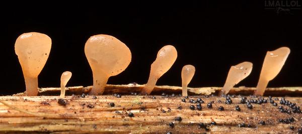 Fungi line
