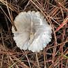 Marasmium calhouniae