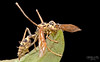 Wasp infected by zombie fungus