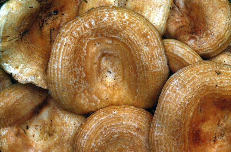 Lactarius alnicola