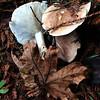 Leucopaxillus albissimus