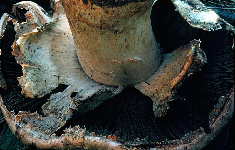 Agaricus lilaceps