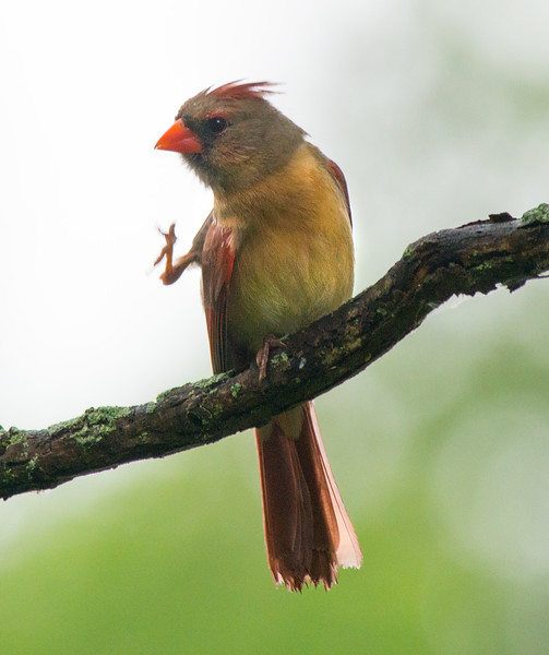 CardinalFemale_Itching_4613.jpg