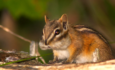 Now, that's a fat-cheeked chipmunk!