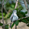 Blue-gray Gnatcatcher resting