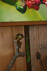 Gecko climbs down wall below gecko picture